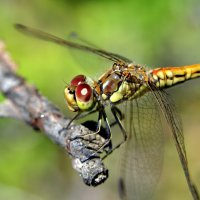 dragonfly on a tree :: valery60