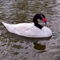 Лебедь черношей :: Nina Streapan