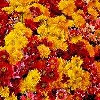 Осеннее хризантемное великолепие :: Светлана