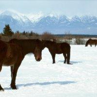 Бурятские лошадки, не боящиеся мороза :: Нина