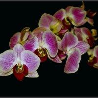 Орхидея :: Александр Березуцкий (nevant60)