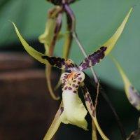 Орхидея брассия ( Бородавчивый паук ) :: Анатолий Шумилин