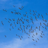 К нам прилетели пеликаны :: Николай Волков