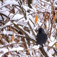 Про осень, снег и галку :: Татьяна Ломтева