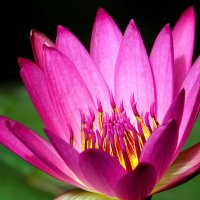 Королевский цветок :: Alexander