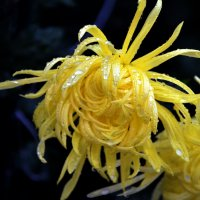 Дождик взлохматил лепестки хризантемы... :: Ольга Голубева