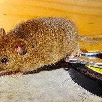 Мышка :: Евгений Замковой