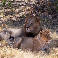 Дикий животный мир Африки. :: Олег Красовский