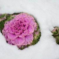 Оазис в снегу :: Константин Жирнов