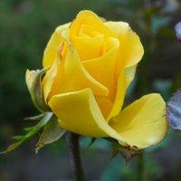Осенняя роза...4 :: Тамара (st.tamara)