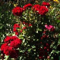 дерево из роз :: Роза Бара