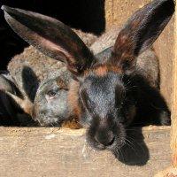 Кролики - это не только ценный мех.. :: Андрей Заломленков