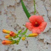 Цветок  кустарник - Кампсис. :: Оля Богданович