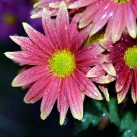 Ноябрь. Лишь на цветах слезы осени... :: Ольга Голубева
