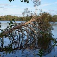 Дерево у озера :: Татьяна
