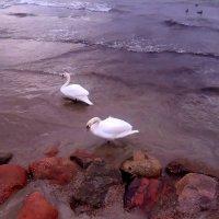 Лебеди :: Валерия Яскович