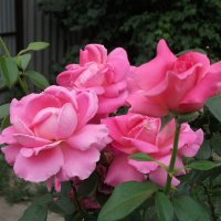 Розы :: Oleg Arince