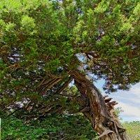 Реликтовое дерево :: Вера Щукина
