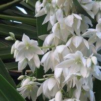 Юкка цветёт :: Герович Лилия