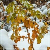 Снег и шиповник 3 :: Виталий