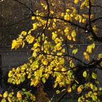 Осенние листья-2. Дождь и солнышко- редкое явление. :: Фотогруппа Весна.