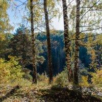 Синий лес золотой осенью :: Владимир Безбородов