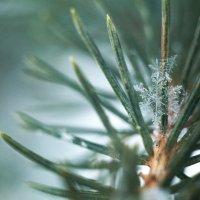Снежинка в еловых иголках :: Андрей Акимов