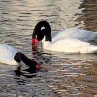 Черношейные лебеди в парковом пруду :: Нина Бутко
