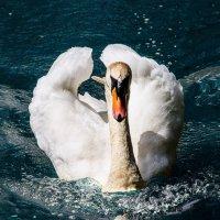 ..красивая птица, среди затюкавших его уток ... :: Лилия .
