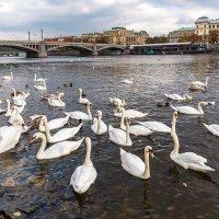 Пражские лебеди :: Виктор Льготин