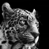 леопард :: Иван Верхотурцев