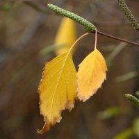 Последние листья озябшей берёзы... :: Татьяна Смоляниченко