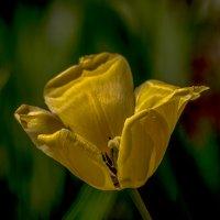 желтый тюльпанчик :: gribushko грибушко Николай