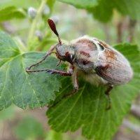 Майский жук :: Юлия Богданова