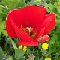 Тюльпан :: Oleg Arince