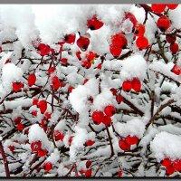 шиповник  под   снегом. :: Ivana