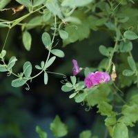 Полевые цветы :: Виктория Велес