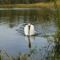 Лебедь :: Игорь Сикорский