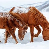 Снежные лошади :: Александр Решетников