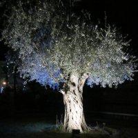 Старая олива подсветкой :: Герович Лилия