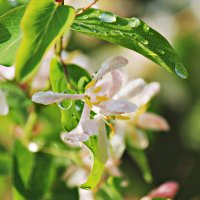 Роса на листьях :: Мару Верведа
