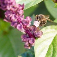 Пчелка :: Kristina Suvorova