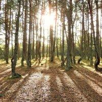 Танцующий лес Куршской косы :: Елена Ом