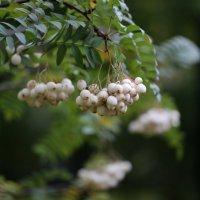 Рябина Кёне (Sorbus koehneana) :: юрий
