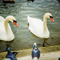 Лебеди в осеннем парке :: Сергей Малый