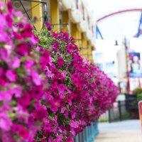 Петуньи в цвету :: Мария Самохина