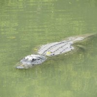 Крокодил-дил-дил плывёт :: Герович Лилия
