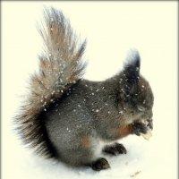 Белка зимой  /1/ :: Сергей