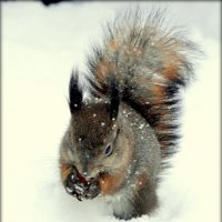 Белка зимой  /4/ :: Сергей
