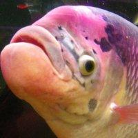 Портрет рыбы в аквариуме. :: Владимир Гилясев